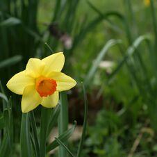 Free Jonquilla Spring. Stock Photo - 5210920