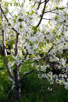 Free Beautiful Cherry Blossom Royalty Free Stock Images - 5210949
