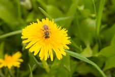 Free Dandelion By Springtime Royalty Free Stock Photo - 5210975