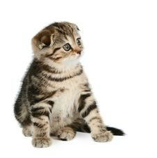 Free Cute Little Kitten Royalty Free Stock Images - 5211159
