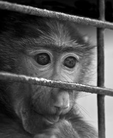 Free Caged Baby Baboon Royalty Free Stock Photography - 5211307