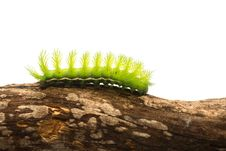 Scary Green Caterpillar Royalty Free Stock Photo