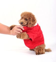 Free Toy Poodle Stock Photography - 5211842