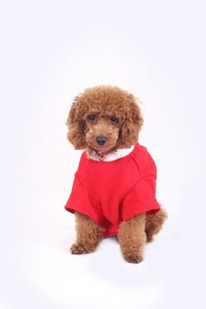 Free Toy Poodle Stock Images - 5211844