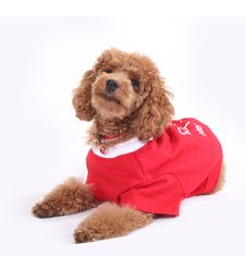 Free Toy Poodle Royalty Free Stock Photography - 5211847
