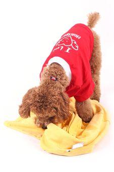 Free Toy Poodle Royalty Free Stock Photos - 5211848