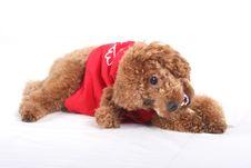 Free Toy Poodle Stock Photos - 5211853