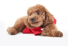 Free Toy Poodle Royalty Free Stock Photo - 5211855