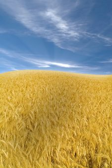 Free Wheat Field Royalty Free Stock Image - 5211856