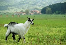 Free Little Goat In The Meadow Royalty Free Stock Photography - 5212587