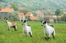 Free Three Goats In The Meadow Royalty Free Stock Photo - 5212665