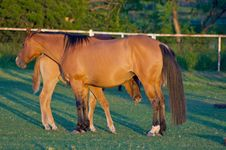 Free Red Mother Horse With Foal Stock Photo - 5212980