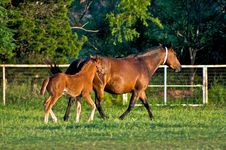 Free Brown Horse With Colt Royalty Free Stock Photos - 5213118