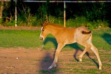 Free Trotting Colt Royalty Free Stock Photography - 5213267