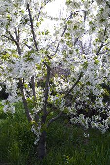 Free Beautiful Cherry Blossom...... Royalty Free Stock Image - 5213576