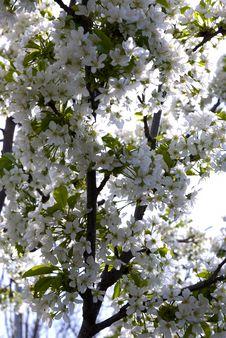 Free Beautiful Cherry Blossom..... Royalty Free Stock Photo - 5213705