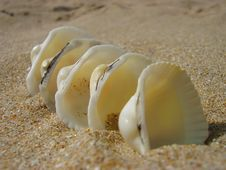 Free White Cockleshells Royalty Free Stock Images - 5213769
