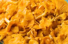 Free Chanterelle Mushrooms Stock Images - 5213864