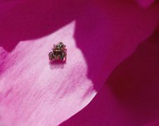 Free Jumping Spider On Flower Petal Stock Image - 5213971