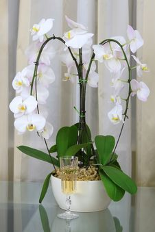 Free Composition With Orchid And Champagne Stock Photography - 5214002