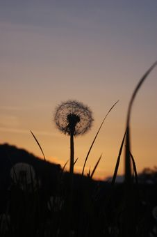 Free Dandelion At Sunset Royalty Free Stock Photography - 5214077