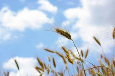 Free Spikes Of The Wheat With Sky. Royalty Free Stock Photo - 5214115