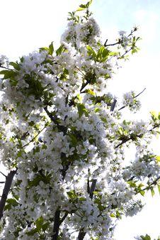 Free Beautiful Cherry Blossom... Stock Photo - 5214130