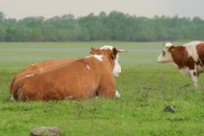 Free Cow Resting Stock Photography - 5214342