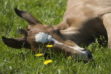 Free Young Foal Sleeping On The Fie Stock Photo - 5214520