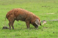 Free Piglet On Green Meadow Stock Image - 5214541