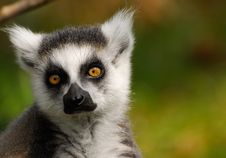 Free Cute Ring-tailed Lemur Stock Images - 5214924