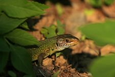 Lizard Emerging From Ground Stock Photo
