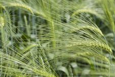 Free Barley Stock Photo - 5215530