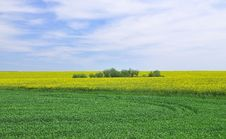 Free Canola Field Royalty Free Stock Photos - 5216448