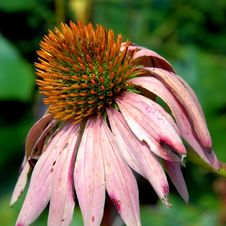 Free Echinacea Purple Coneflower Stock Images - 5216594