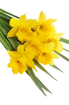 Free Yellow Narcissus Royalty Free Stock Photography - 5216677