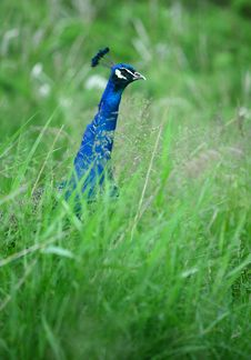 Free Peacock Royalty Free Stock Image - 5216876