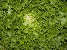 Free Lettuce Closeup Royalty Free Stock Image - 5216996