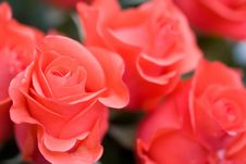 Free Beautiful Roses Background Stock Images - 5217004