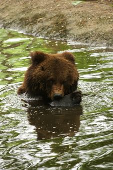 Free Bear Is Washing In The Water Royalty Free Stock Photo - 5217885