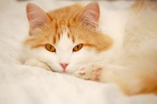 Free Catnap Royalty Free Stock Photos - 5218598