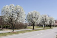 Free Row Of Bradford Pear Trees In Spring Royalty Free Stock Image - 5219006