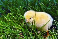 Free Chick Stock Photography - 5219052