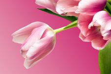 Free Beautiful Tulips Over Pink Royalty Free Stock Image - 5219056