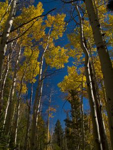 Free Tall Aspens In Autumn Royalty Free Stock Images - 5219549