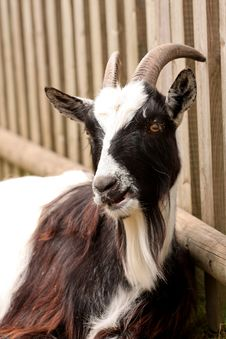 Free Goat Leaning On A Fence Royalty Free Stock Photography - 5219607