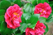 Free Camellia Royalty Free Stock Photography - 52150617