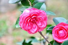 Free Camellia Stock Photography - 52151722