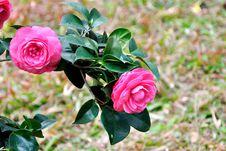 Free Camellia Stock Image - 52153601