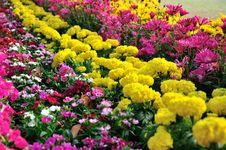 Free Chrysanthemum Flowers Royalty Free Stock Photo - 52153675
